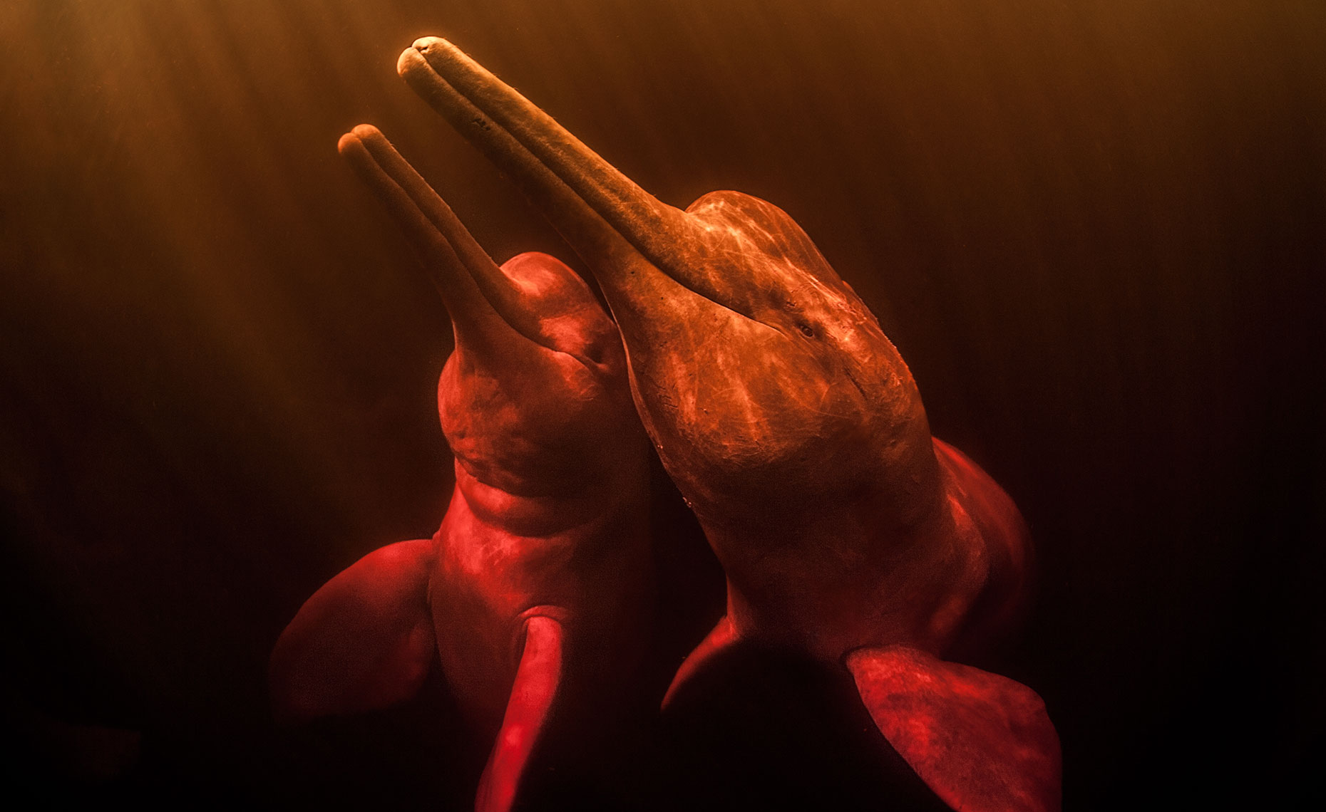 two pink river dolphins