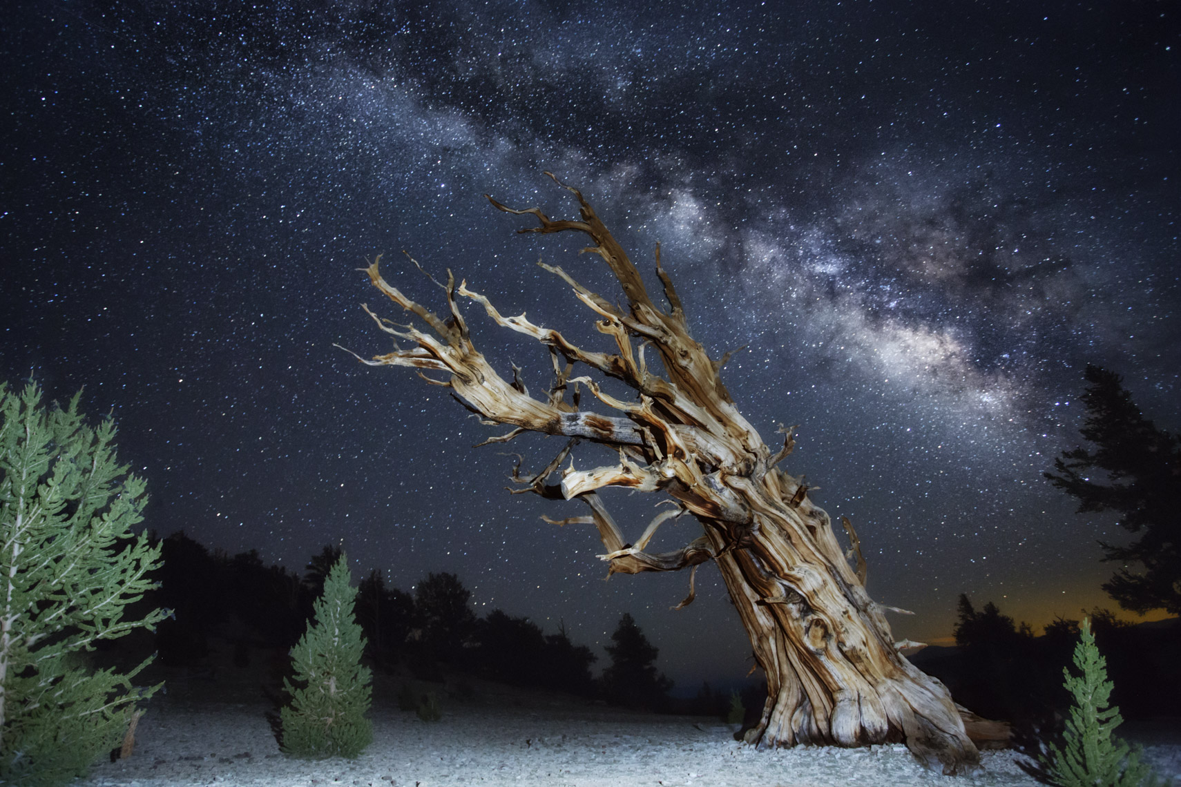 Milk way over ancient bristlecone pine