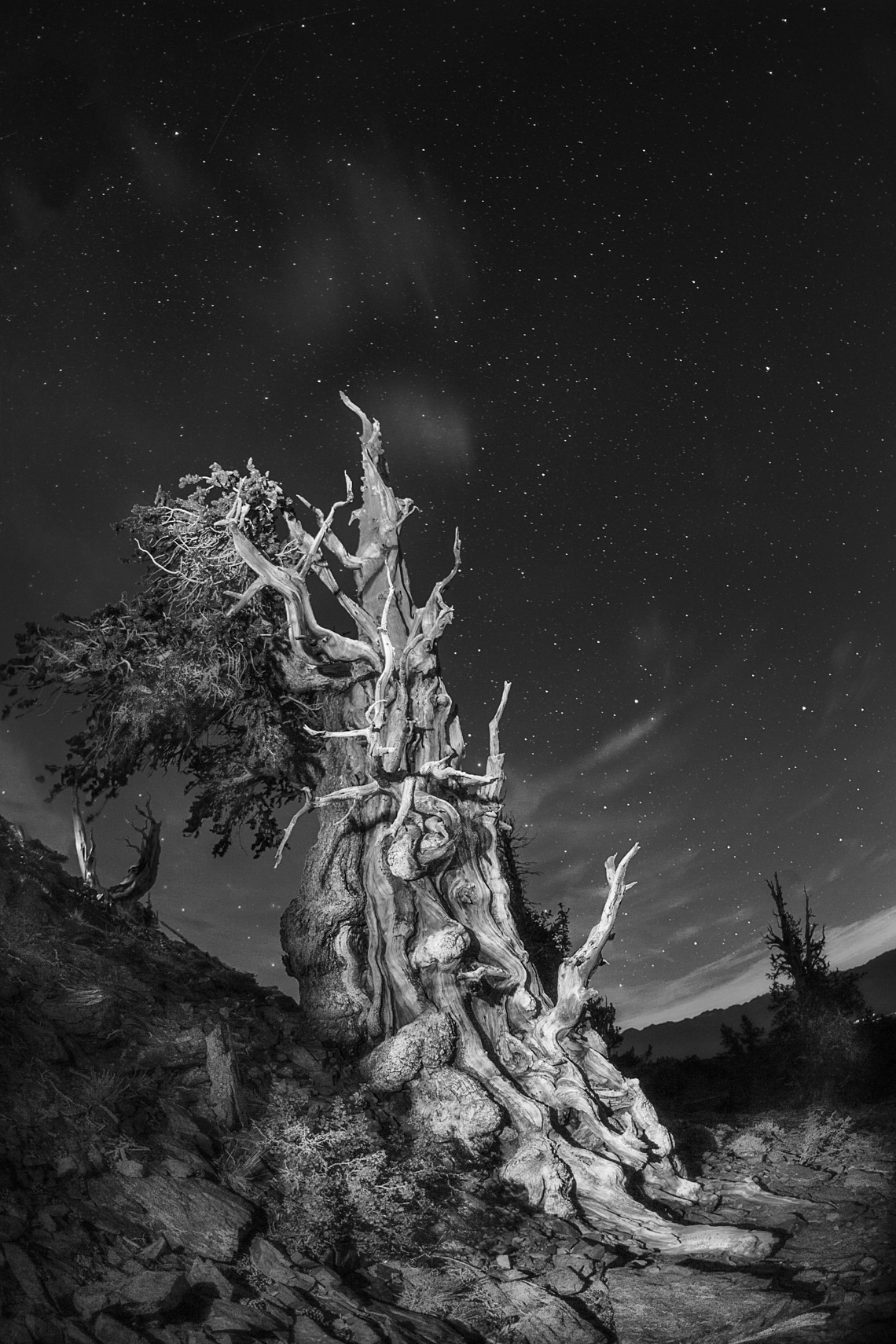 Black and white  bristlecone pines at night