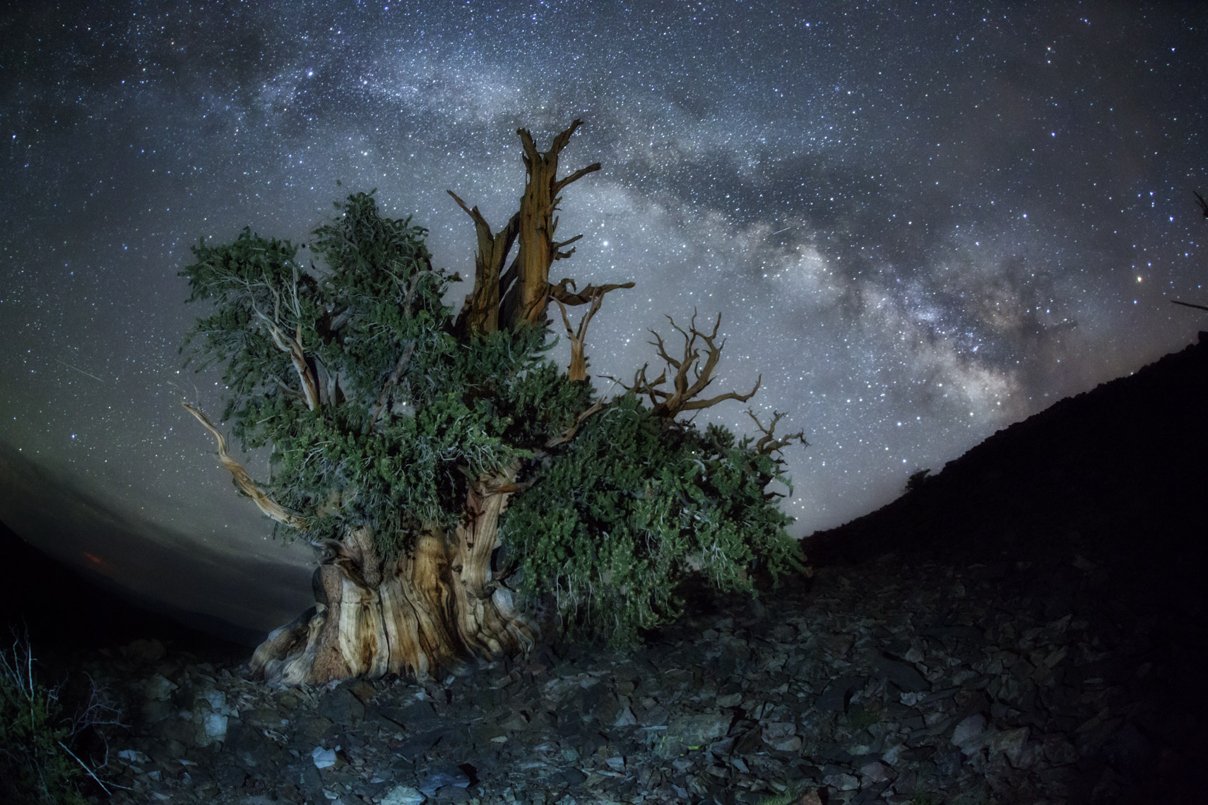 Milk way over bristlecone pines