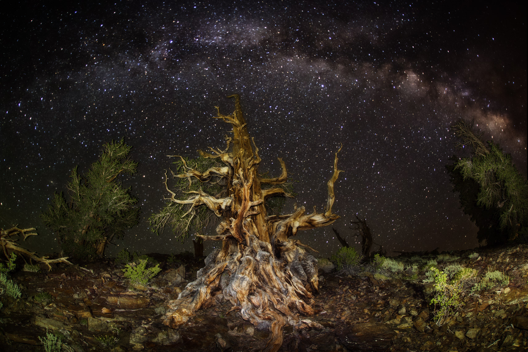 Milk way over bristlecone pine