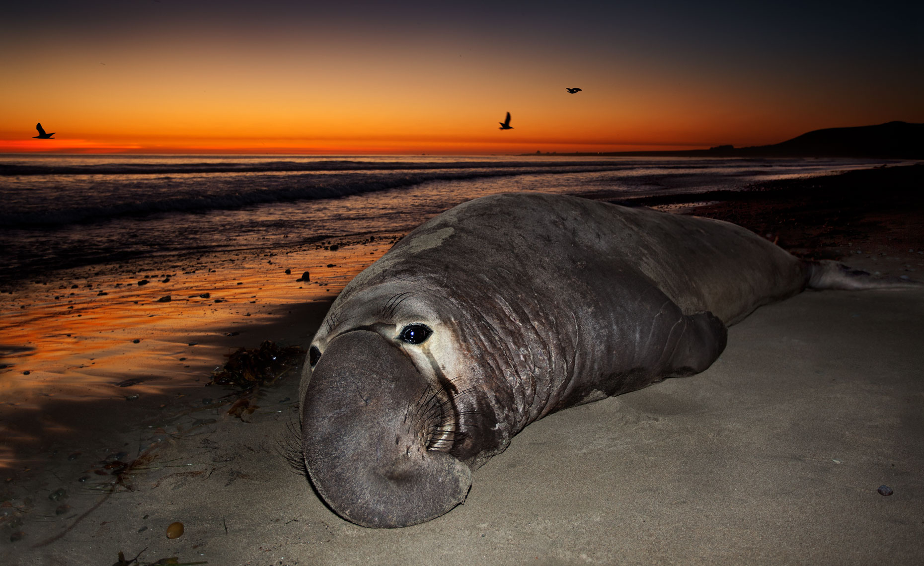 Elephant-seals-feb11_0726-4W.jpg