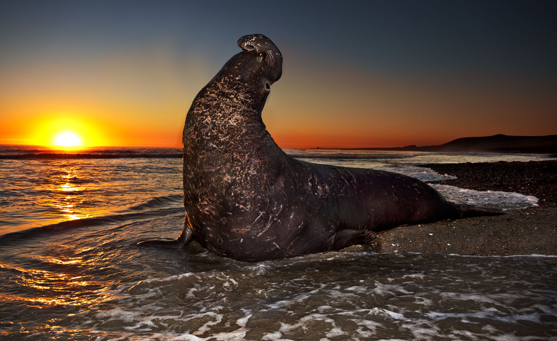 Elephant-seals-feb11_661-659-4W.jpg
