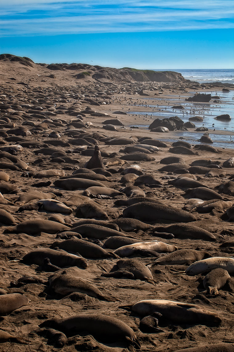 Elephant-seals-jan11_0228-4W.jpg