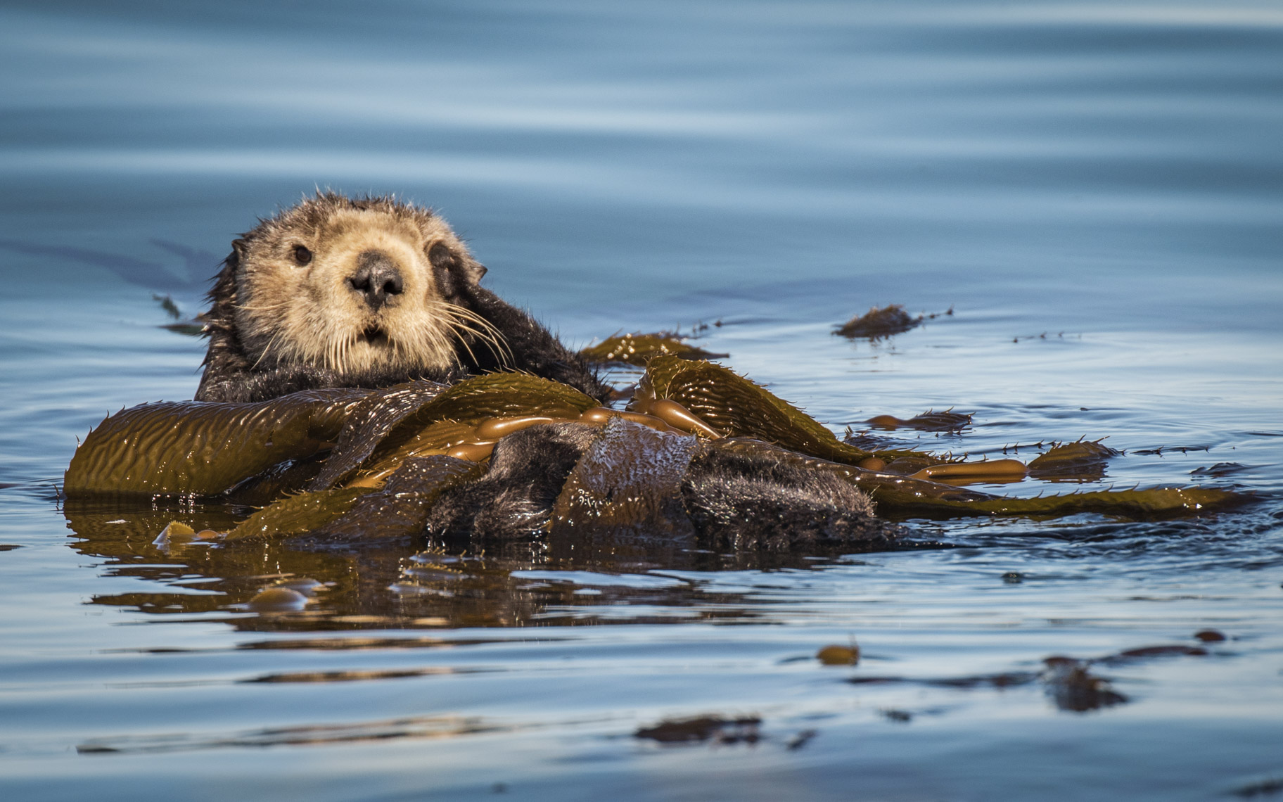 Sea Otter portrait 2