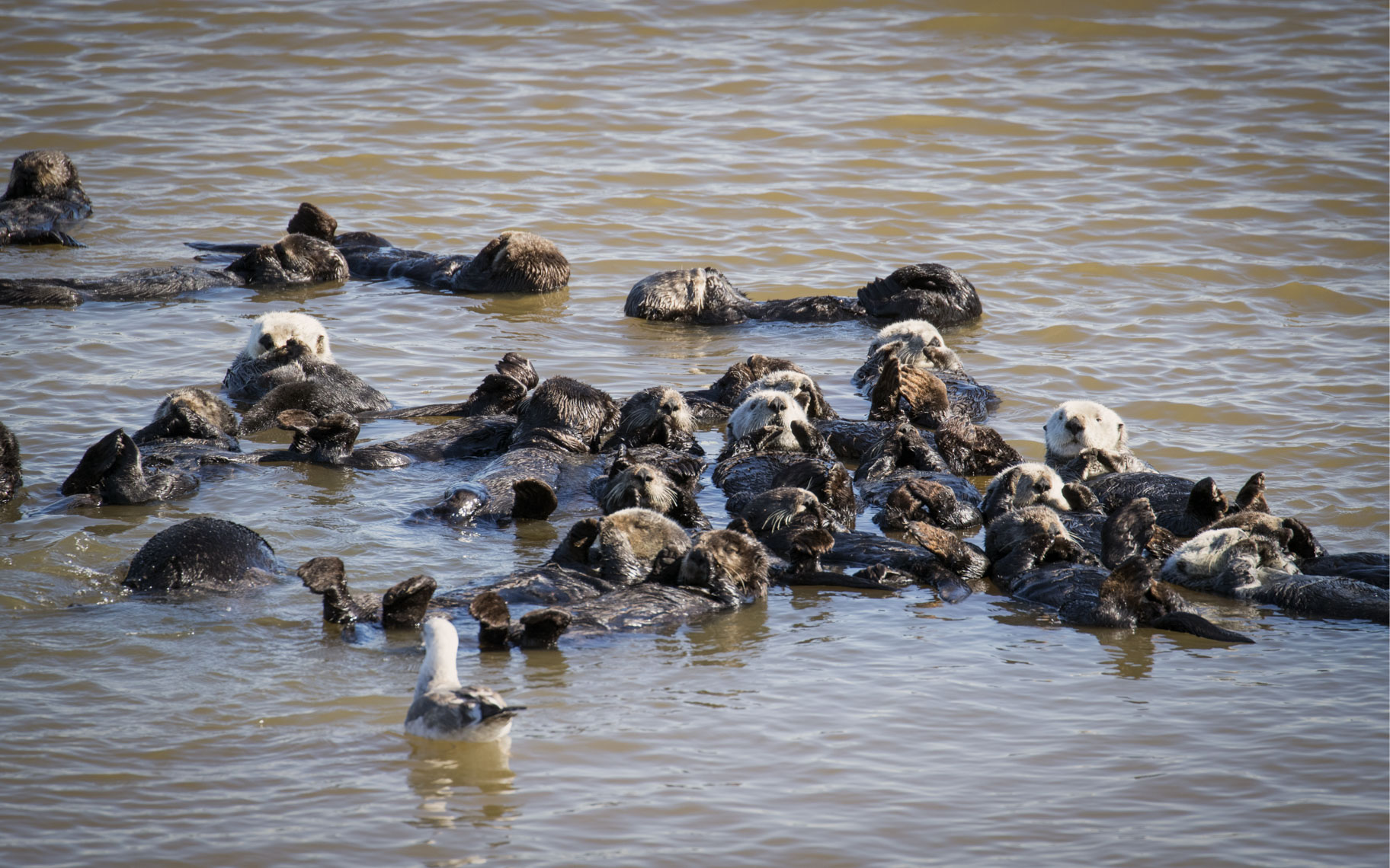 Otter aggregation