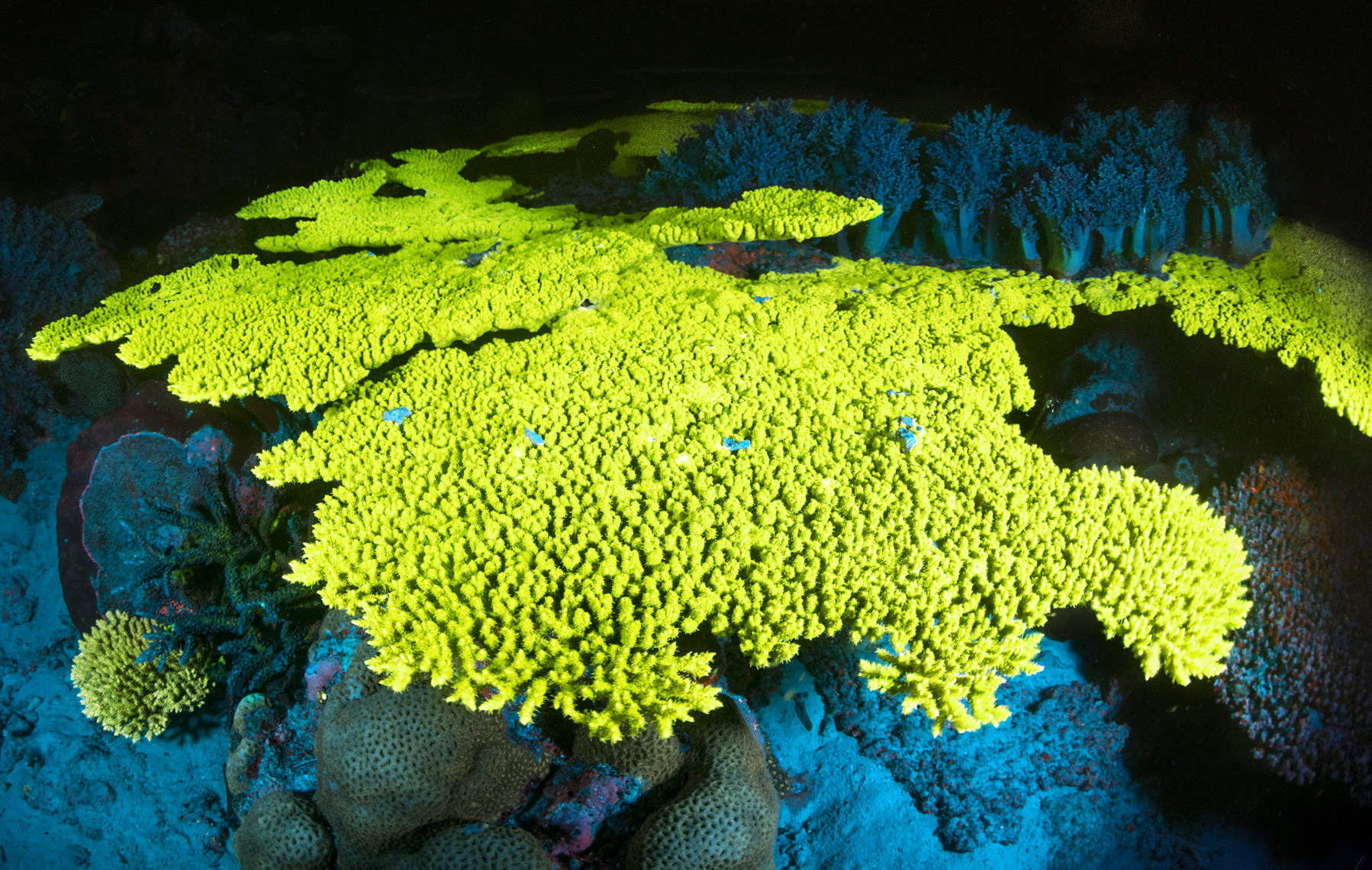 Yellow fluorescent hard coral