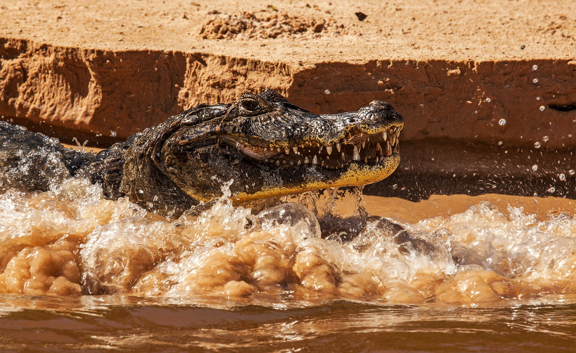caiman in a pantanal river bank