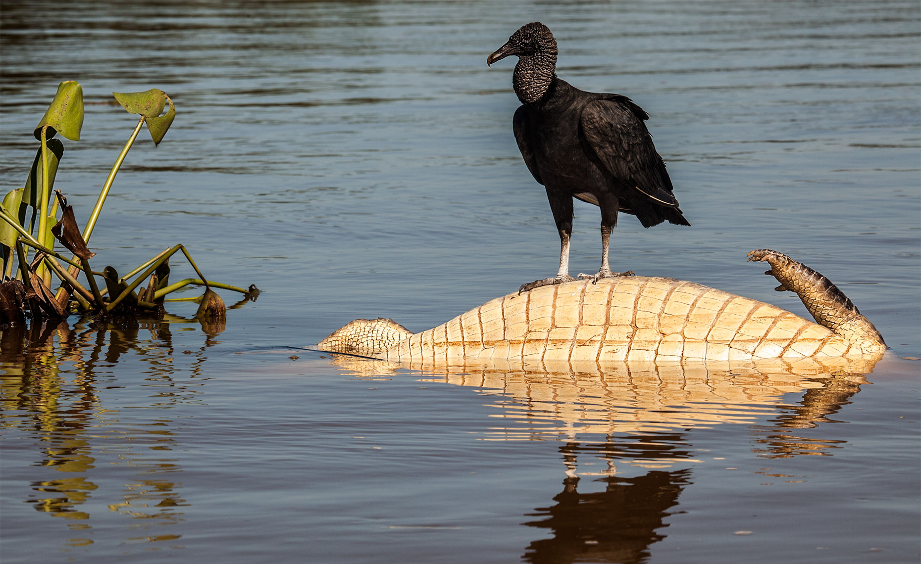 Vulture on a dead caiman