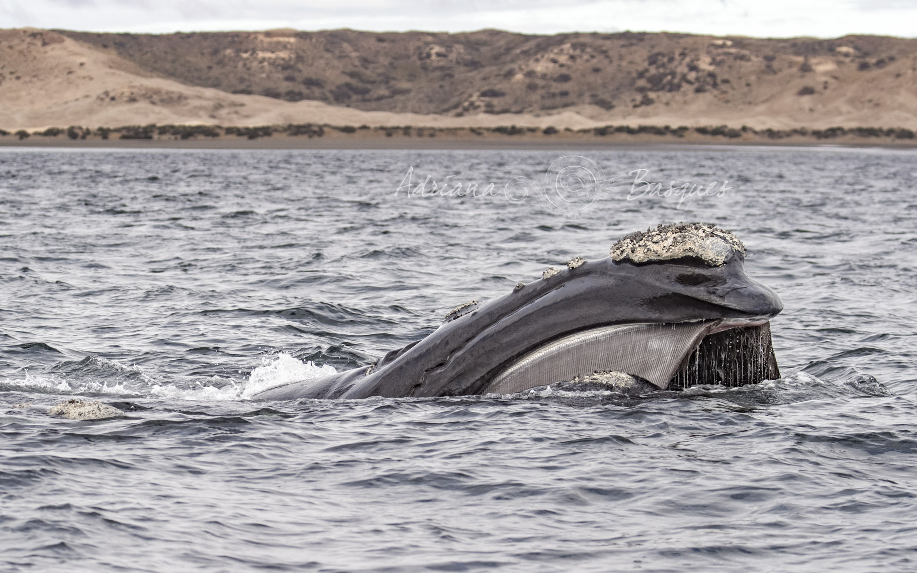 Right whales 1049 - 4W
