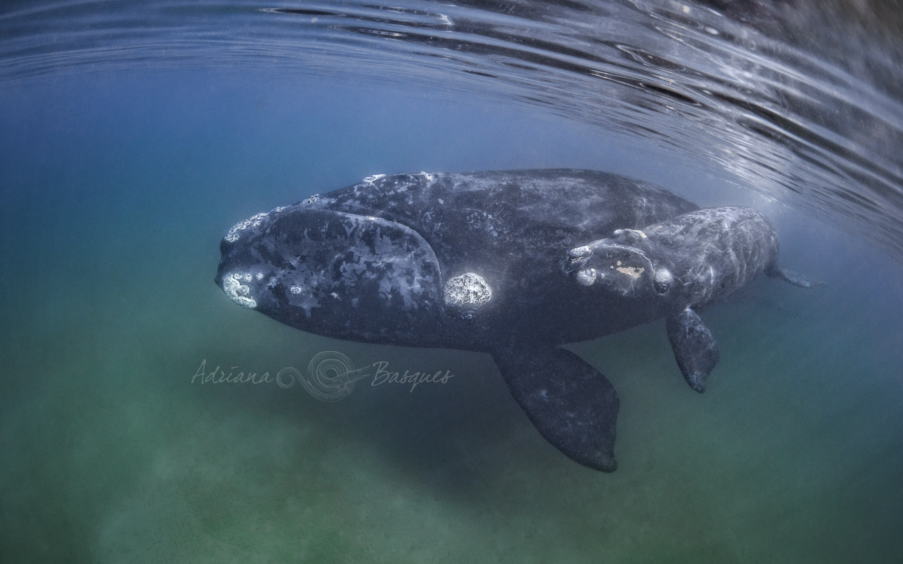 Right whales 4230 - 4W