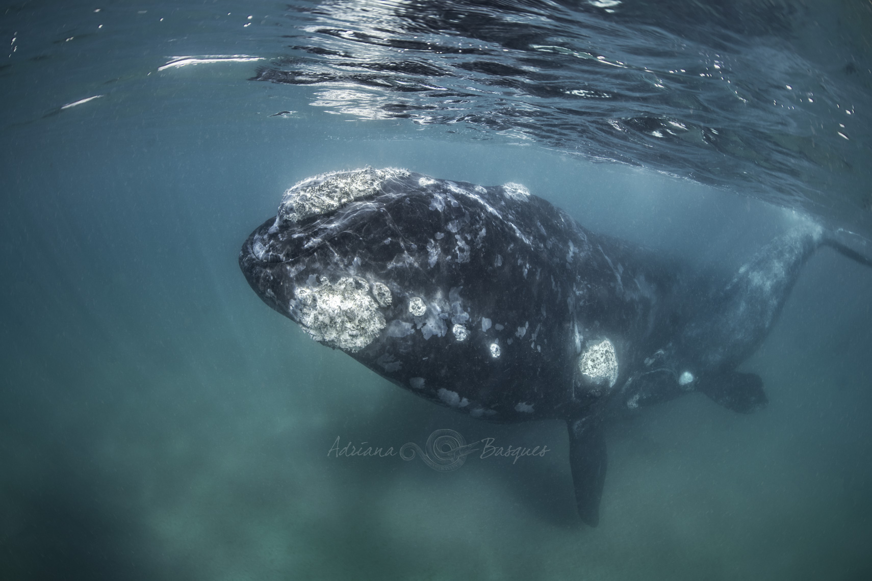 Right whales 4422 - 4W