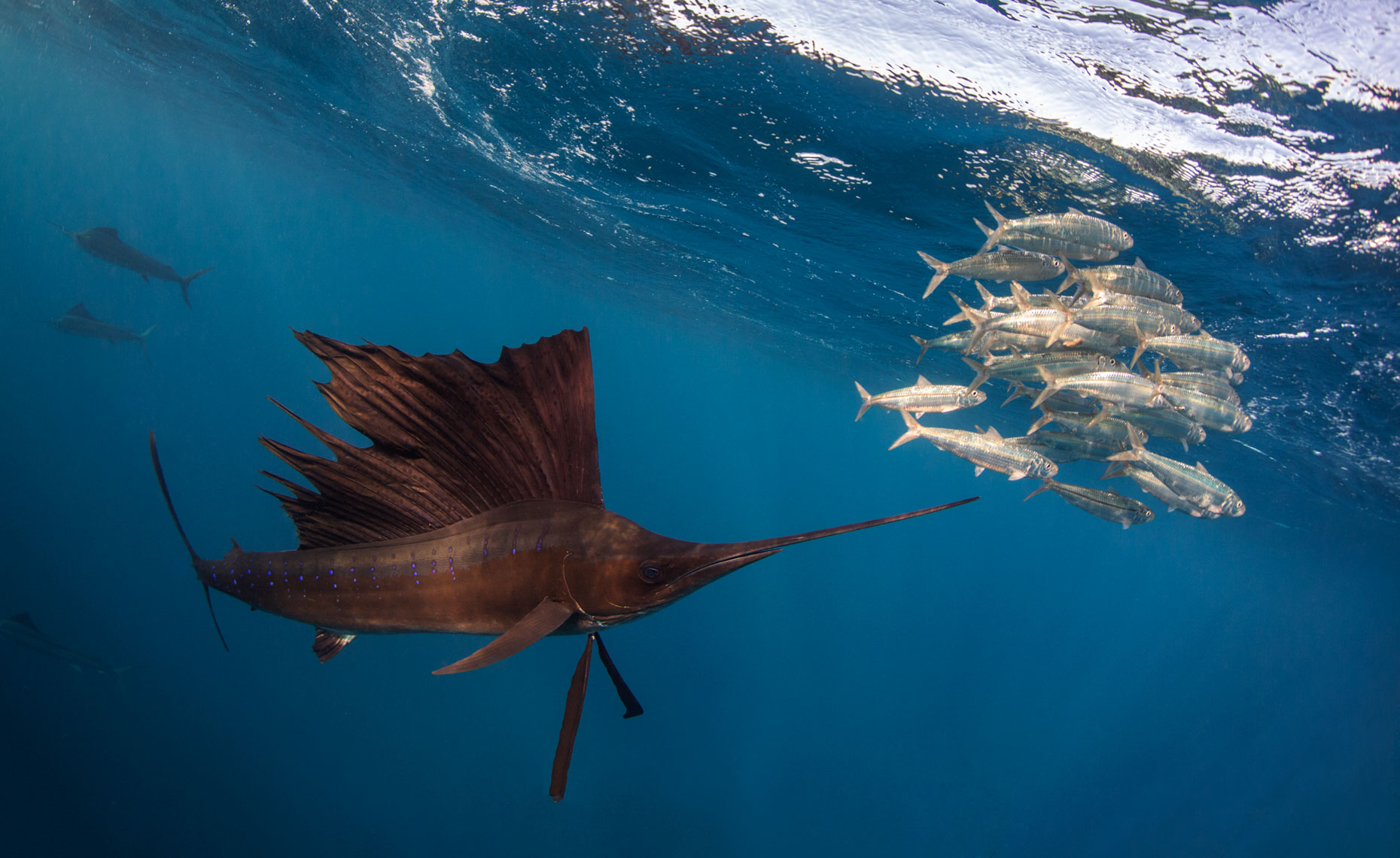 Sailfish hunting