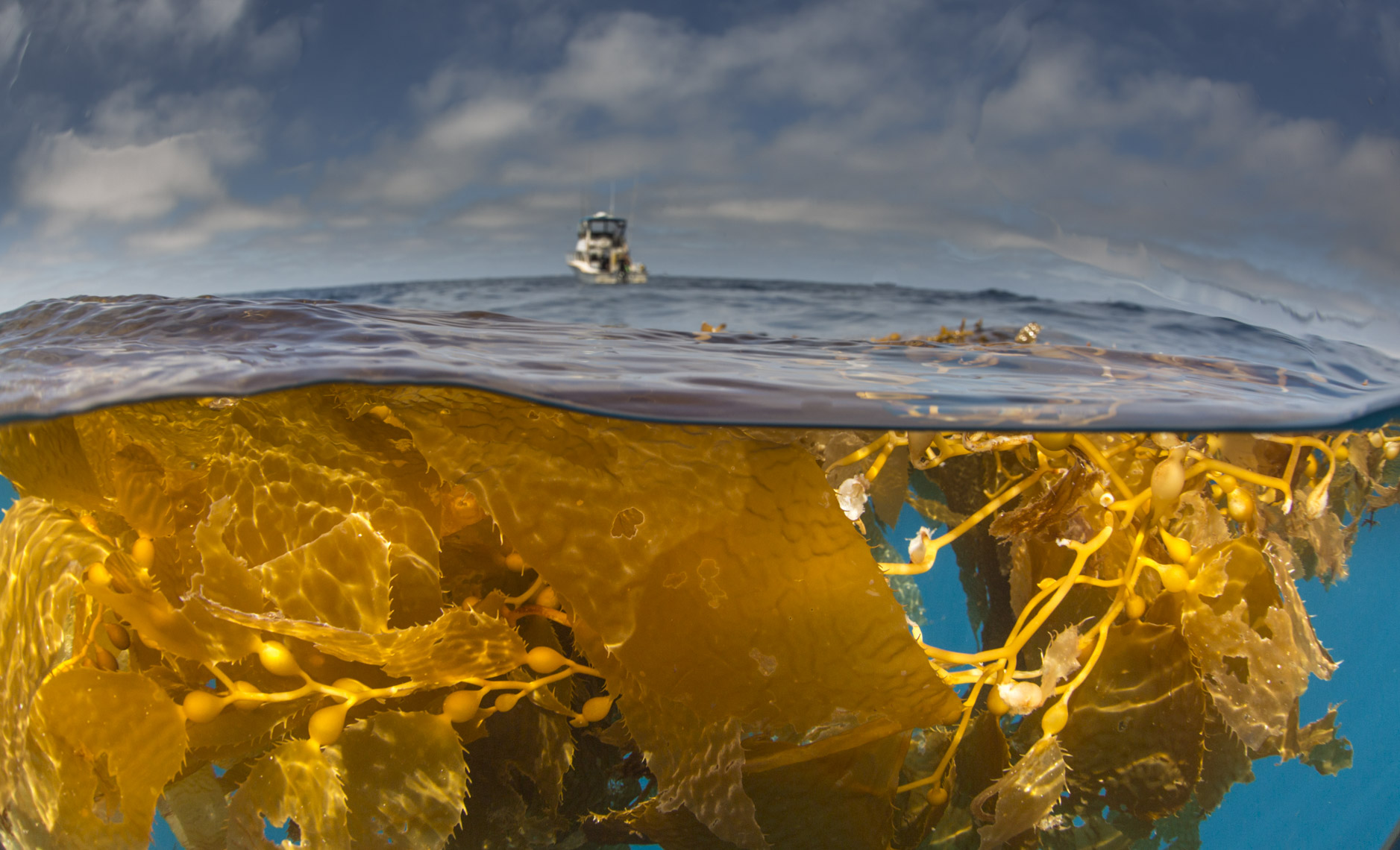 Golden kelp and boat