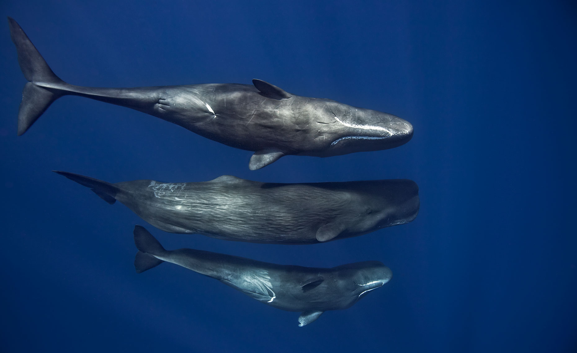 three sperm whales