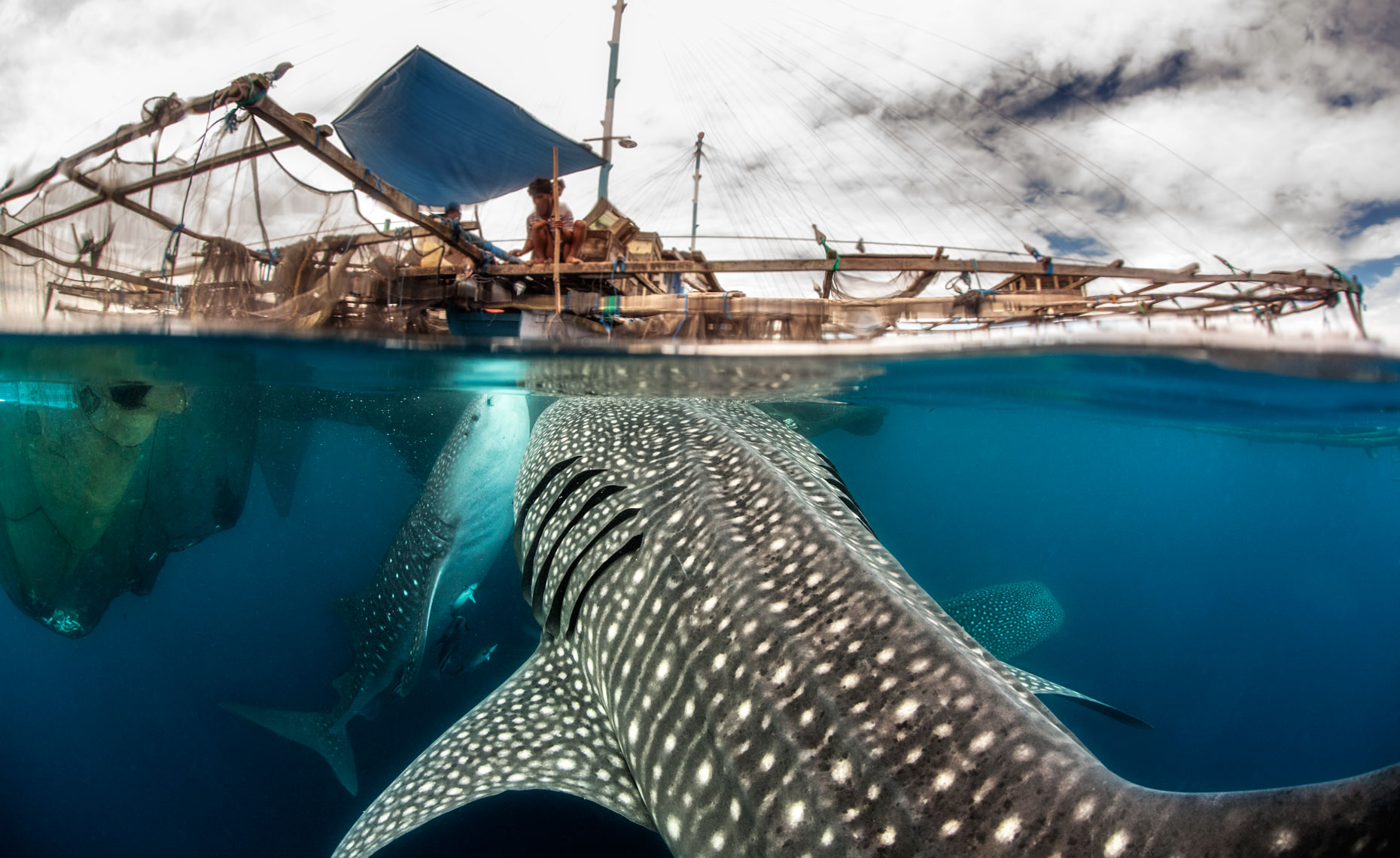 Whale-shark_feeding under bagan