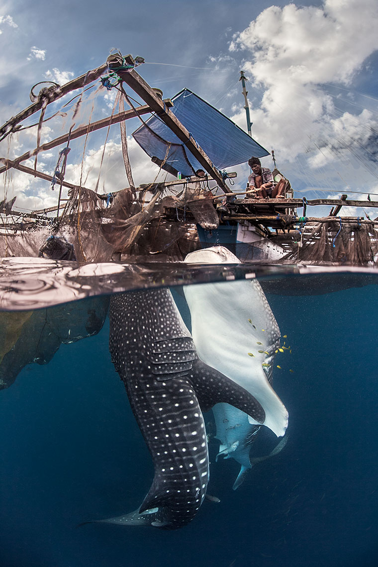Whale sharks feeding at the boat
